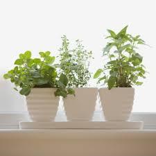 Uzgoj ljekovitog bilja u saksijama