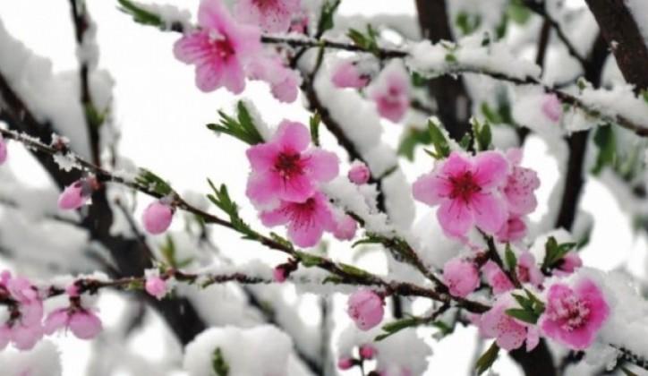 izvorna verzija sevdalinke snijeg pade na behar na voće otkriva