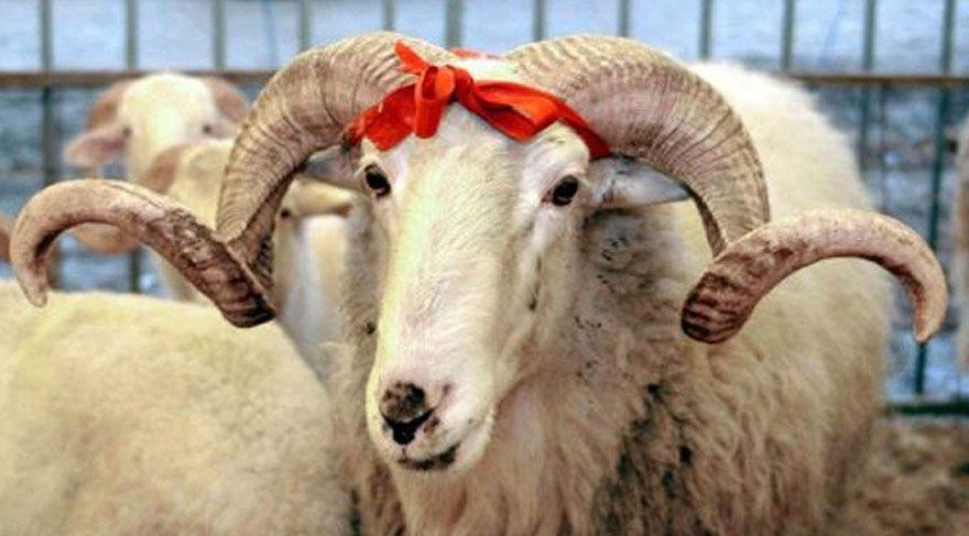 Belgija: U Flamanskoj regiji počela zabrana halal klanja životinja
