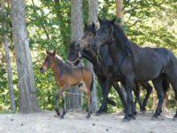 Nova otkrića u istraživanjima genetike bosanskog brdskog konja