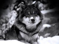 Priča o vučici