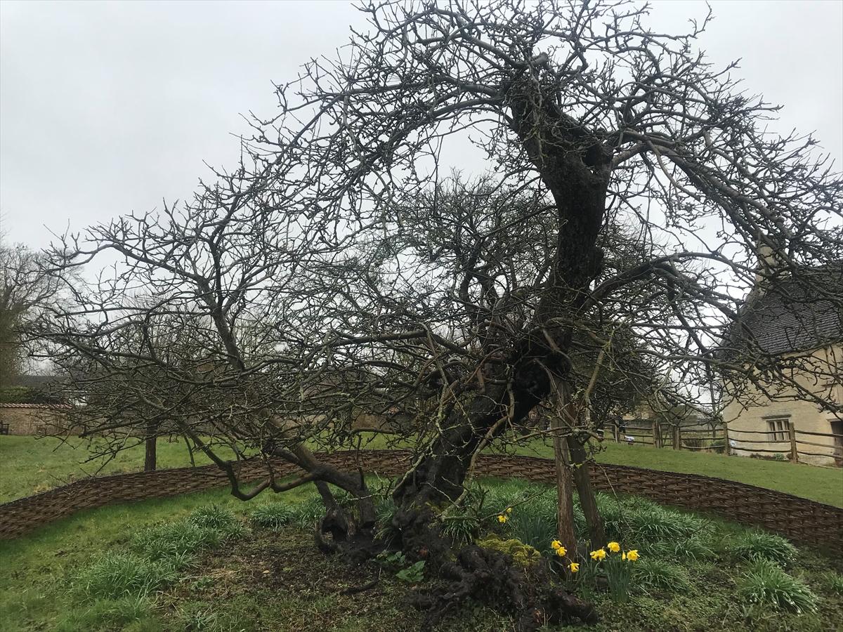 Newtonovo stablo jabuke četiri stoljeća prkosi vremenu