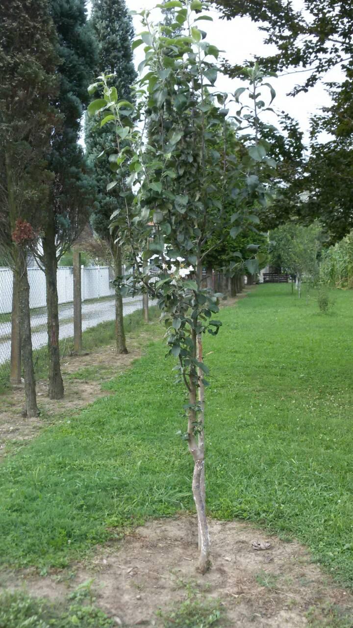 Kišno ljeto: U Živinicama procvjetao behar na stablu dunje