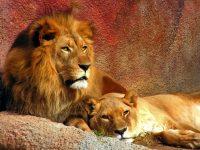 """Napravite razliku između """"majmuna"""" i """"lavova"""""""