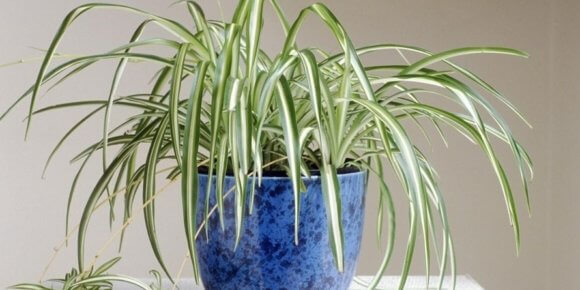 Zeleni ljiljan – njega, razmnožavanje, presađivanje i gdje kupiti