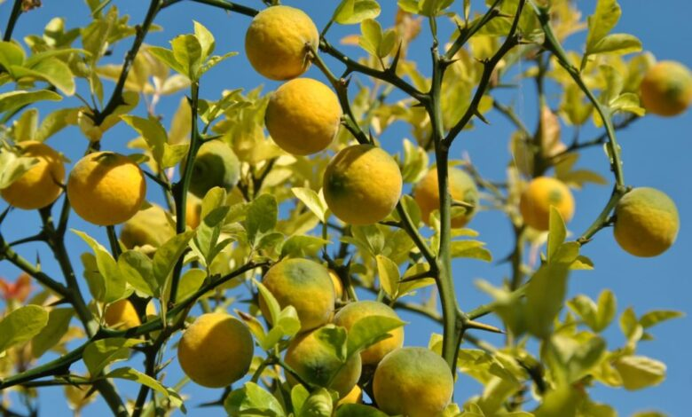 UZGOJ SIBIRSKOG LIMUNA-Poncirus trifoliata l
